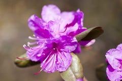 Kwitnąć różanecznika Zdjęcie Stock
