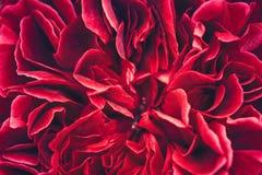 Kwitnąć różanych krzaków zamknięty up Zdjęcia Stock