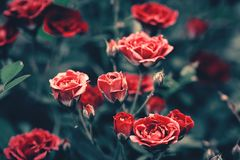 Kwitnąć różanych krzaków zamknięty up Obraz Royalty Free