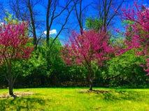Kwitnąć Redbuds Fotografia Stock