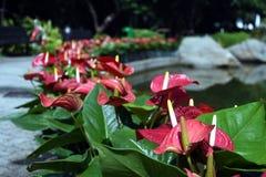 Kwitnąć rośliny Anthurium, flaminga kwiaty/ Zdjęcia Stock