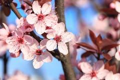 Kwitnąć rozgałęzia się w wiośnie Obrazy Stock