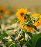 Kwitnąć słonecznik Zdjęcie Royalty Free