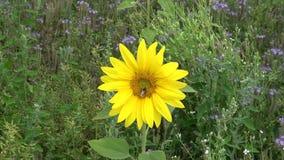 Kwitnąć słonecznika na tle błękitni kwiaty phacelia zdjęcie wideo