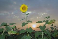 Kwitnąć słonecznika w polu przy zmierzchem Zdjęcie Royalty Free