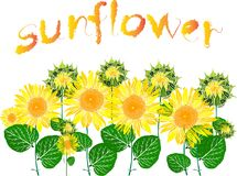 Kwitnąć słoneczniki i inskrypcję słonecznik Obraz Royalty Free