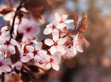 Kwitnąć Sakura Zdjęcie Stock