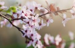 Kwitnąć Sakura Zdjęcia Stock