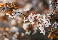 Kwitnąć Sakura Zdjęcie Royalty Free