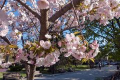 Kwitnąć Sakura drzewa, Varna, Bułgaria Fotografia Royalty Free