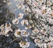 Kwitnąć Sakura gałąź nad kanał w Japonia Obraz Royalty Free
