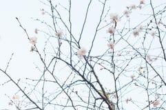 Kwitnąć Sakura na drzewie Obrazy Stock