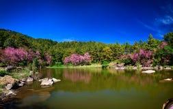 Kwitnąć Sakura przy Doi Inthanon parkiem narodowym Wat Phatat Doi Suthep Zdjęcia Royalty Free