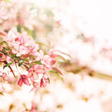 Kwitnąć Sakura, różowi wiśnia kwiaty Obraz Stock