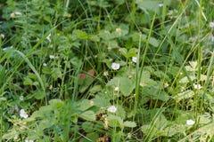 Kwitnąć truskawka Truskawka kwitnie w polu Fotografia Stock