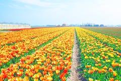 Kwitnąć tulipany w wsi od holandii Fotografia Royalty Free