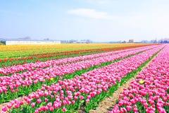 Kwitnąć tulipany w wsi od holandii Obraz Royalty Free