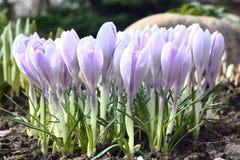 Kwitnąć wczesna wiosna. Zdjęcia Stock