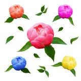 Kwitną peonie, liście dla walentynki ` s dnia i eighth Marzec Obrazy Royalty Free