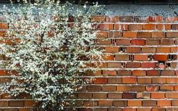 Kwitnąca śliwka Obraz Stock