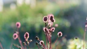 Kwitnąca śródpolna roślina pod promieniami lato zmierzch Obraz Royalty Free