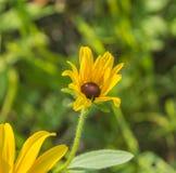 Kwitnąca żółta stokrotka Fotografia Royalty Free