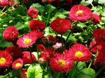 Kwitnąca żywa różowa Angielska stokrotka, Tasso menchia kwitnie z ranek rosą w świetle słonecznym Fotografia Stock