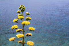 Kwitnąca agawa fotografia stock
