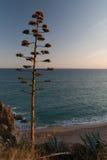 Kwitnąca agawa w półmroku Obraz Royalty Free