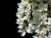 Kwitnąca akacja, odizolowywająca na czerni zdjęcie royalty free