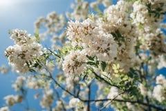 Kwitnąca akacja przeciw niebieskiemu niebu obrazy royalty free