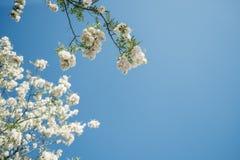 Kwitnąca akacja przeciw niebieskiemu niebu Przestrzeń dla teksta zdjęcia royalty free