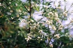 Kwitnąca biała akacja w lecie zdjęcie stock
