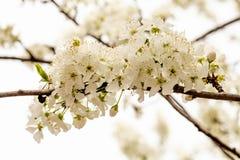Kwitnąca biała wiśnia w wiosna ogródzie fotografia stock