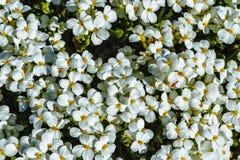 Kwitnąca Białych kwiatów badanu wiosna Zdjęcia Royalty Free