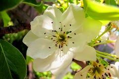 Kwitnąca bonkreta, biel kwitnął kwiatu zakończenie w górę zdjęcie stock