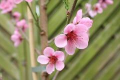 kwitnąca brzoskwinia zdjęcie stock