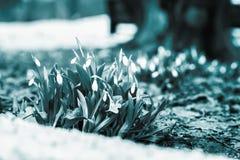 Kwitnąca delikatna dzika śnieżyczka w lesie w śniegu Pojęcie pierwszy pierwiosnki, sezony, pogoda Wiosna tonująca zdjęcie stock