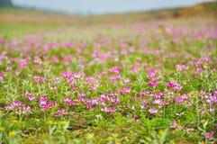 Kwitnąca dojna wyka kwitnie w wiośnie Obrazy Royalty Free