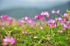 Kwitnąca dojna wyka kwitnie w wiośnie Obrazy Stock