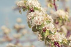 Kwitnąca dzika bonkreta przeciw nieba kolorowemu naturalnemu miękkiemu bokeh zdjęcie royalty free