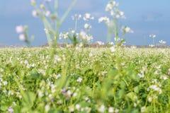 Kwitnąca dzika gorczycowa musztarda na wiejskim polu zdjęcie stock