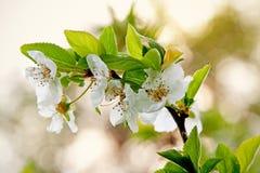 Kwitnąca gałąź Zdjęcia Stock