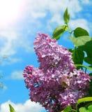 Kwitnąca gałąź bez na słonecznym dniu Obraz Stock