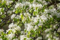 Kwitnąca gałąź bonkrety drzewo w wiośnie w światła słonecznego zbliżeniu Fotografia Stock