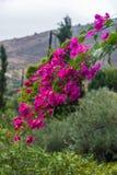 Kwitnąca gałąź jaskrawi fuksji azalii kwiaty zdjęcia stock