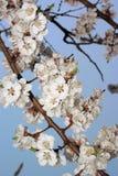 kwitnąca gałąź kwitnie Sakura Obraz Royalty Free