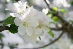 Kwitnąca gałąź w wiośnie Zbliżenie makro- kwitnącej jabłoni biali kwiaty z zamazanym tłem Kwiecisty naturalny backgrou Fotografia Royalty Free