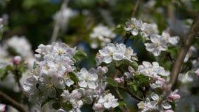 Kwitnąca jabłoń 1 Zdjęcia Royalty Free
