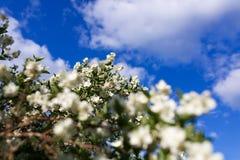 Kwitnąca jabłoń na tle niebieskie niebo zdjęcia stock